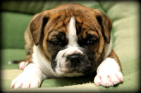 BULLDOGGE PUPPIES