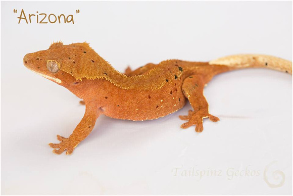 ARIZONA - NORTHERN GECKO
