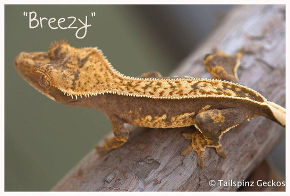 BREEZY - ALL-STAR GECKOS